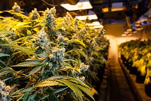 Cannabis grow operation covered by equipment breakdown insurance