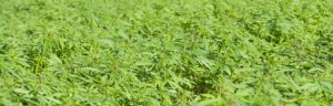 a large field of cannabis that would benefit from a good package of important insurance policies