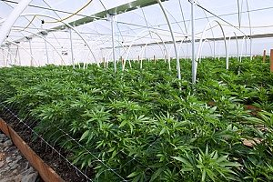 a cannabis facility that is covered by over ten different types of cannabis insurance policies to ensure the operation runs as smooth as possible