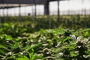a cannabis farm that has cannabis insurance since the product can be very easily damaged