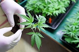 a dispensary worker servicing a cannabis plant that has product liability insurance in case the product were to become faulty