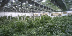 a cannabis grow facility that is looking to improve its business plan through cannabis insurance