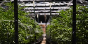 cultivators-that-need-to-acquire-cannabis-insurance-
