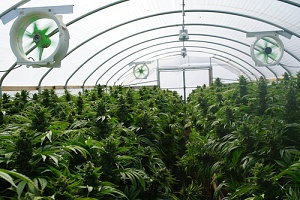 a big weed farm to contribute to the rise of the cannabis industry in 2019