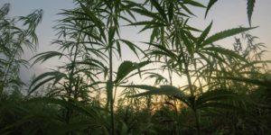 Michigan Marijuana Feature