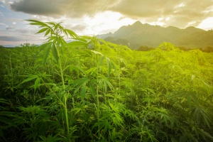 excitement of Opening A Marijuana Dispensary