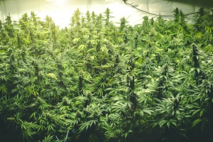 Dispensary Illinois Opening A Marijuana Dispensary