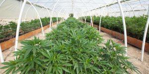 Feature-Marijuana Dispensary-