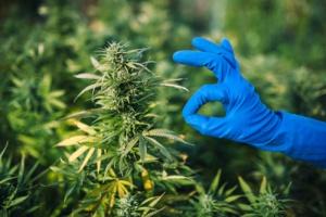 Opening A Marijuana Dispensary in illinois