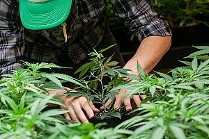 Farmer harvesting cannabis