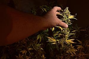 Thief stealing cannabis plant