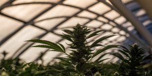 Cannabis plant in insured farm