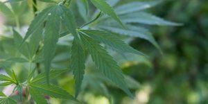 Cannabis leaf on plant