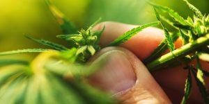 Hemp Regulations In Indiana Cannabis Industry