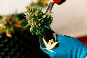 delivery driver insurance for cannabis industry