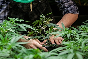 a medical marijuana farmer tending to his product as it grows