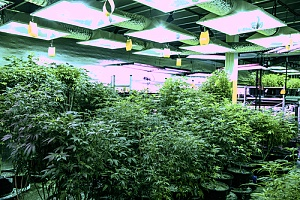 marijuana growing in a building owned by a landlord