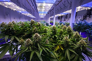 cannabis plants shown in a greenhouse protected by property insurance