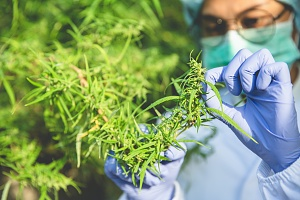 a cannabis worker covered by insurance examining weed plant