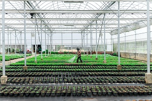 a employee walking through and watering cannabis plants in a greenhouse