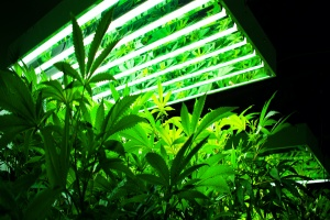 cannabis being grown under a light in a greenhouse