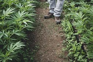 cannabis employee walking through his crops
