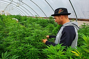 cannabis employee working in a greenhouse with weed plants covered by workers compensation insurance