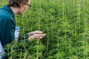 cannabis employee working kneeling in the plant to look at it
