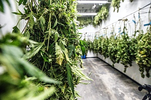 cannabis leaves drying after being grown in a medical marijuana house that is covered with Washington D.C. Cannabis Insurance
