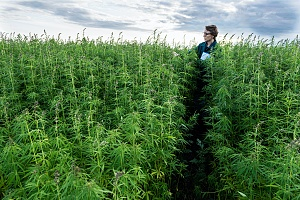 cannabis worker walking through large crop of weed