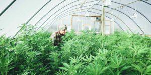 Man tending to cannabis plants