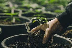 planting a single cannabis plant inside a greenhouse