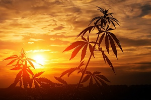 weed plant with a orange and red sunset in the background