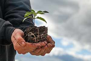 Cannabis sprout being held