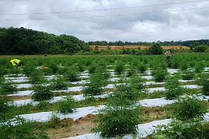 Field of marijuana plants