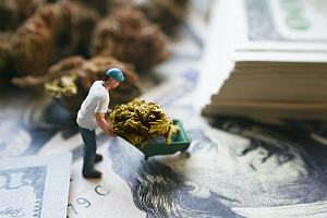 Worker protected with cannabis insurance
