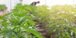 Cannabis Insurance Consultant looking at a cannabis crop