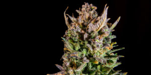 cannabis plant covered with Product liability insurance coverage