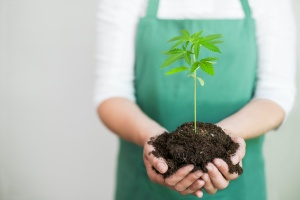 a young cannabis plant being help by a grower who has California  cannabis insurance