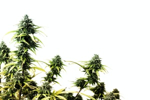 3 cannabis plants that have Product Liability Insurance For Cannabis Industry
