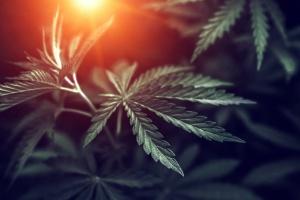 cannabis plant that has California Cannabis Insurance