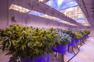 cannabis crop growing in green house with Massachusetts Cannabis Insurance