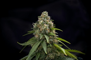 cannabis flower about to be harvested that hasMassachusetts Cannabis Insurance
