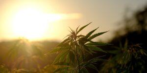Cannabis Insurance- Cannabis Plant in Sunlight