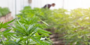 an owner of one of many cannabis businesses in michigan oversees the crops