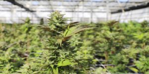 the marijuana cultivator needed their attestation j to be approved before growing the cannabis plants