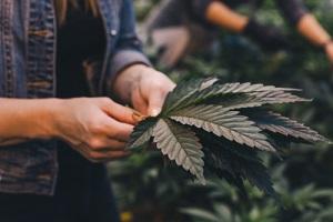 Big Beautiful Cannabis Leaf