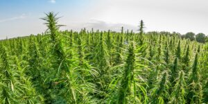 General Liability Insurance Cover For The Cannabis Industry