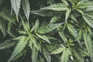 Mature Marijuana Plant with Bud and Leaves