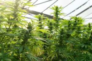 dispensary that houses the cannabis plants is insured with an industry insurance policy
